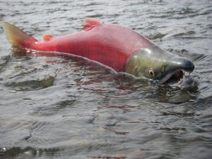 A spawning sockeye salmon in shallow water