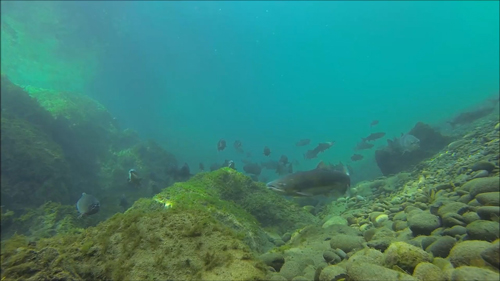 video of salmon beneath the Sol Duc River