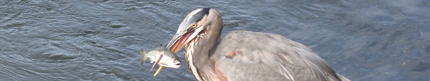Heron with a salmon in its bill