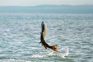 Single salmon leaping in the Puget Sound